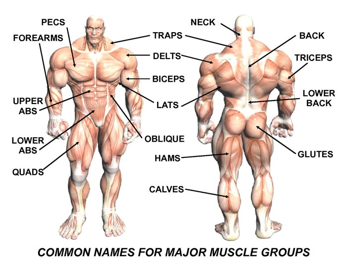 muscle exercises: